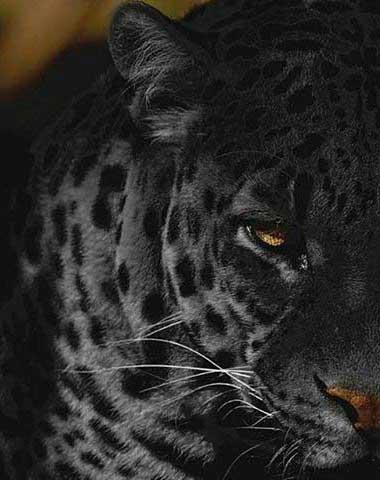 70 Panther Tattoo Designs für Männer - Cool Big Jungle Cats